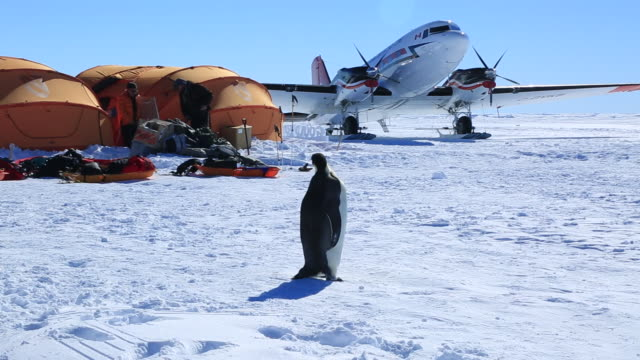 Emperor penguin (Aptenodytes fosteri) at Gould Bay camp walk past airplane and scientists by tents