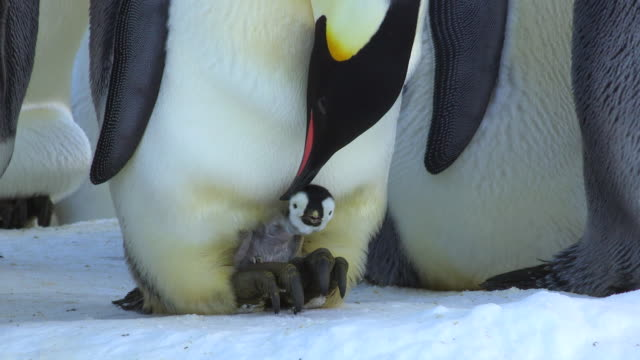 cu td emperor penguin bending down to feeding young chick standing on snow / dumont d'urville station, adelie land, antarctica - 動物の子供点の映像素材/bロール