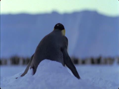 emperor penguin buried in a snow drift. - flightless bird stock videos & royalty-free footage