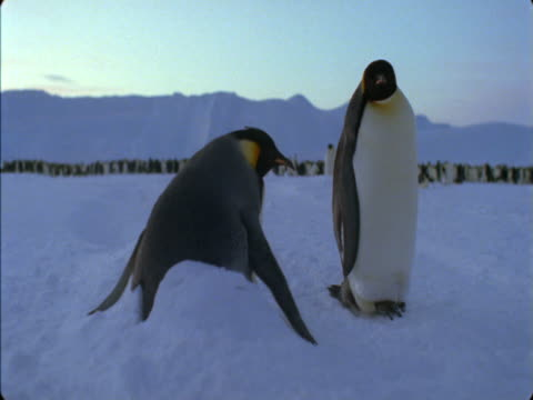 emperor penguin buried in a snow drift while another penguin stands nearby. - flightless bird stock videos & royalty-free footage