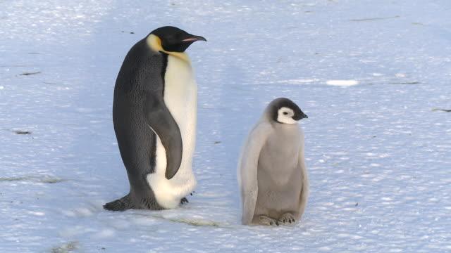 Emperor penguin (Aptenodytes forsteri), chick and adult at colony, Cape Washington, Antarctica