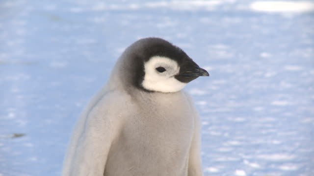 emperor penguin (aptenodytes forsteri), chick at colony, cape washington, antarctica - 雛鳥点の映像素材/bロール