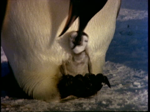 emperor penguin chick being fed on adults feet - female animal stock videos & royalty-free footage