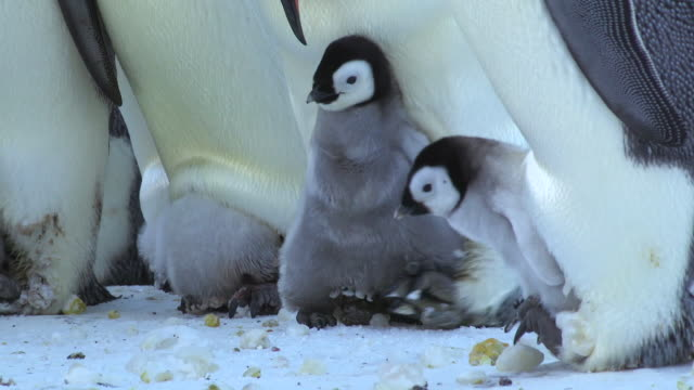 ms emperor penguin chick being pushed by parent off its feet / dumont d'urville station, adelie land, antarctica - young bird stock videos & royalty-free footage