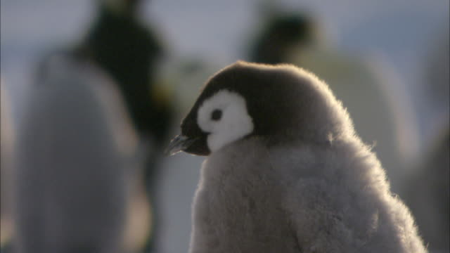 emperor penguin chick blinking - blinking stock videos and b-roll footage