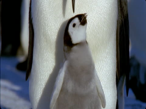 emperor penguin chick bobs its head and flaps its little wings. - young bird stock videos & royalty-free footage