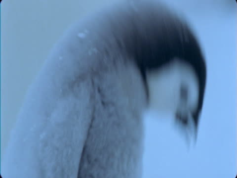 emperor penguin chick calls in snow storm. - flightless bird stock videos & royalty-free footage
