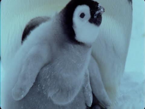 emperor penguin chick eats snow. - futter suchen stock-videos und b-roll-filmmaterial
