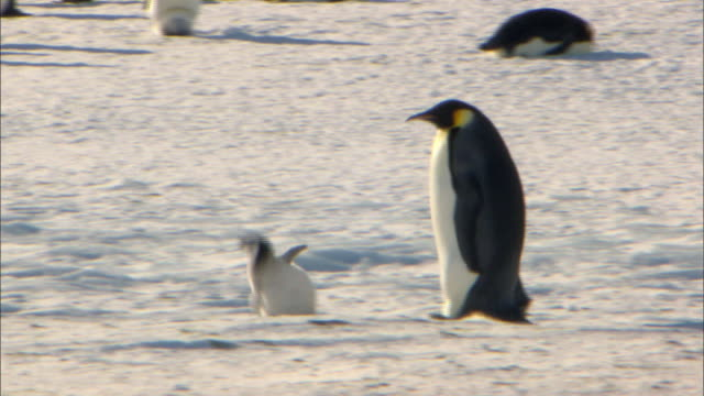 stockvideo's en b-roll-footage met emperor penguin chick falling while walking and the parent penguin following behind it - dierenfamilie