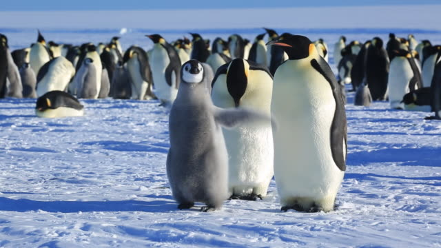 vidéos et rushes de emperor penguin (aptenodytes fosteri) chick flaps in front of adults - manchot