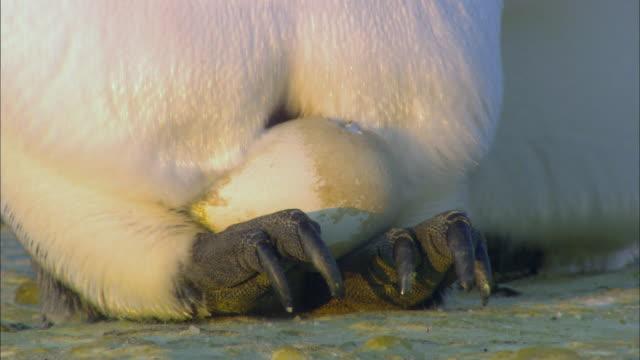 Emperor penguin chick hatching