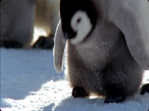 emperor penguin chick looks around and calls in antarctica. - flightless bird stock videos & royalty-free footage
