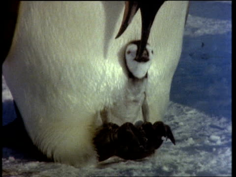 cu emperor penguin chick on feet calling for food and feeding from parents gullet, tilt up, antarctic - oesophagus stock videos & royalty-free footage