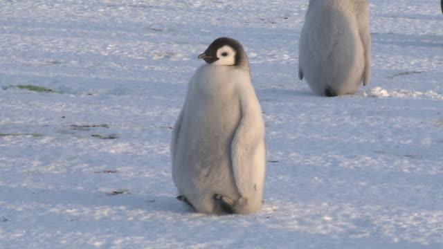 emperor penguin (aptenodytes forsteri), chick resting off feet, cape washington, antarctica - 雛鳥点の映像素材/bロール