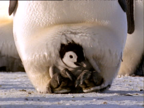 emperor penguin chick sits on feet of adult, huddled in feathers, as adult walks across snow towards camera - young bird stock videos & royalty-free footage