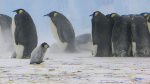 emperor penguin chick walking alone in blizzard beside adult penguins - young bird stock videos & royalty-free footage