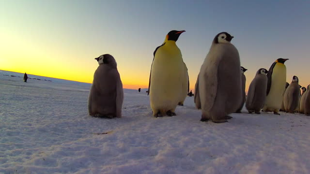 ws la emperor penguin chicks and adults at sunset walking close to camera / dumont d'urville station, adelie land, antarctica - antarctica sunset stock videos & royalty-free footage