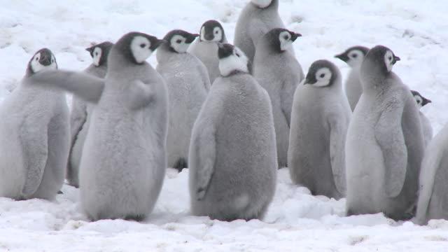emperor penguin (aptenodytes forsteri), chicks at creche, cape washington, antarctica - cape washington stock videos & royalty-free footage