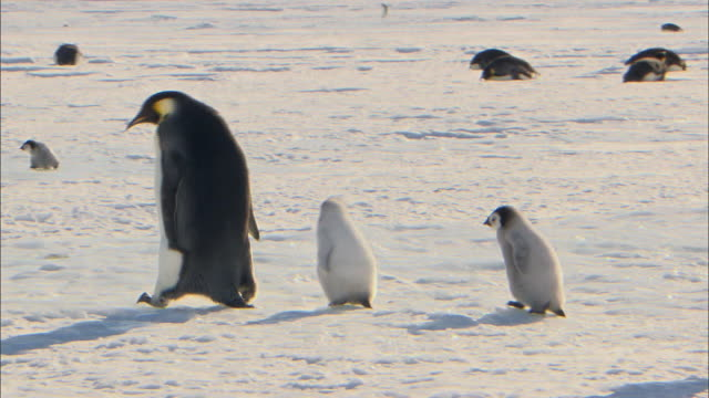 stockvideo's en b-roll-footage met emperor penguin chicks following their parent - dierenfamilie