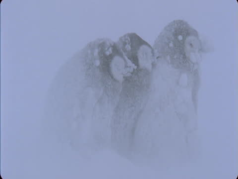 emperor penguin chicks huddle for warmth during a blizzard in antarctica. - shivering stock videos & royalty-free footage