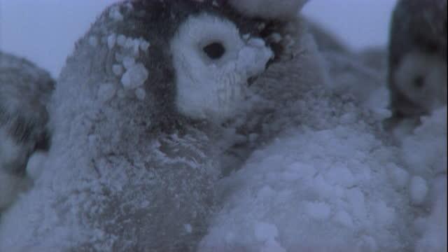 emperor penguin chicks huddle in blizzard in antarctica. available in hd. - emperor penguin stock videos & royalty-free footage