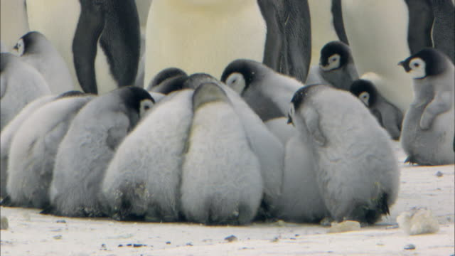 emperor penguin chicks huddling - young animal stock videos & royalty-free footage