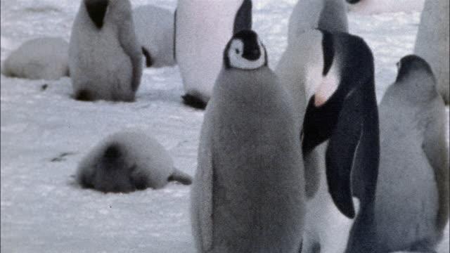 ms, emperor penguin chicks on snow, antarctica - kleine gruppe von tieren stock-videos und b-roll-filmmaterial