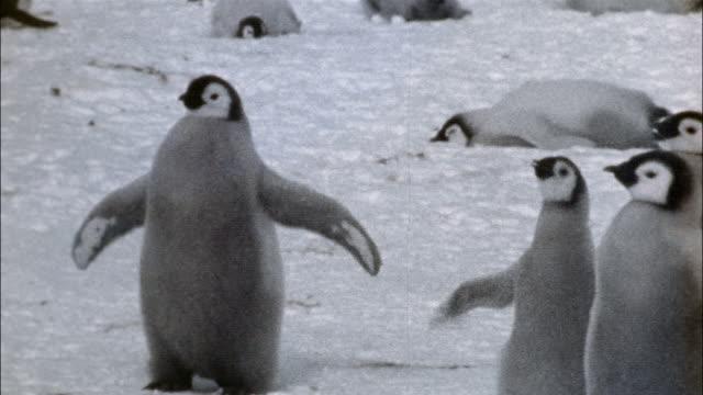 ms, emperor penguin chicks on snow, antarctica - animal wing stock videos & royalty-free footage