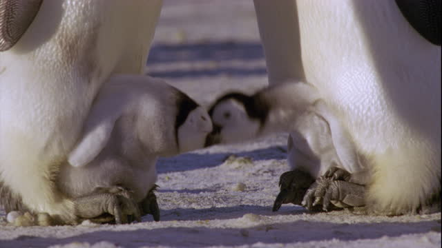 Emperor penguin chicks rest between the legs of their parents.