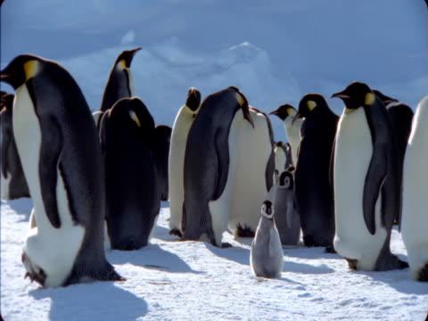 vidéos et rushes de emperor penguin chicks roam through a colony in antarctica. - colony