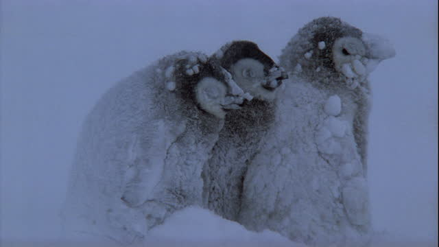 emperor penguin chicks struggle to survive a blizzard in antarctica. available in hd. - shivering stock videos & royalty-free footage