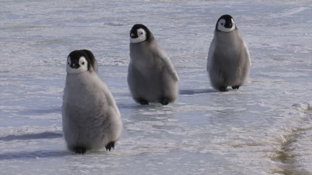 emperor penguin chicks - tiergruppe stock-videos und b-roll-filmmaterial