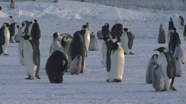 emperor penguin (aptenodytes forsteri) colony, cape washington, antarctica - cape washington stock videos & royalty-free footage