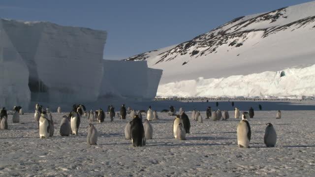 emperor penguin (aptenodytes forsteri) colony, cape washington, antarctica - ross sea stock videos & royalty-free footage