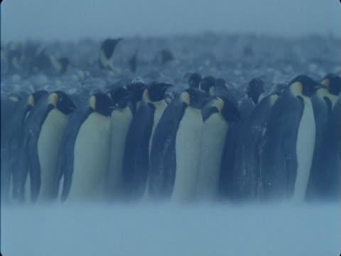 Emperor penguin colony huddles in a blizzard in Antarctica.