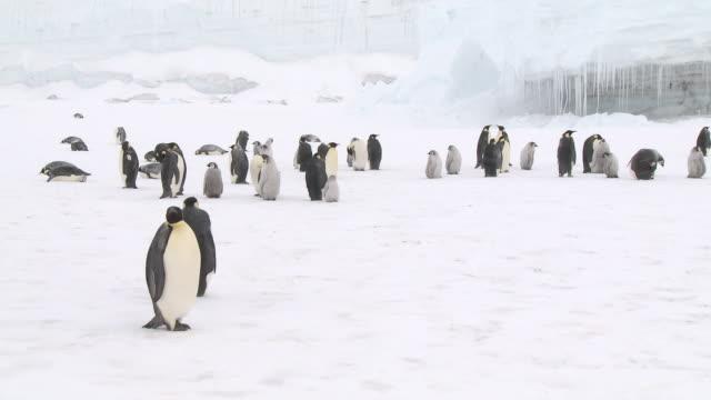 emperor penguin (aptenodytes forsteri) colony in snow, cape washington, antarctica - cape washington stock videos & royalty-free footage