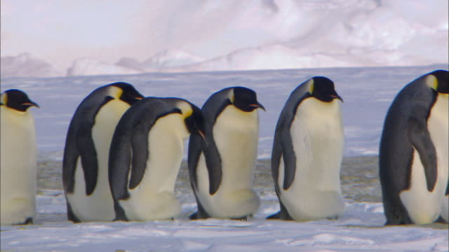 Emperor penguin colony walking in a line