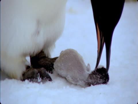 emperor penguin examines dead chick . - flightless bird stock videos & royalty-free footage
