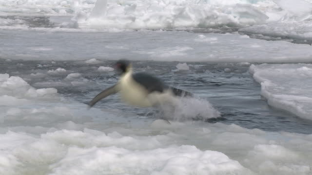 emperor penguin (aptenodytes forsteri) exiting water to camera, cape washington, antarctica - penguin stock videos & royalty-free footage