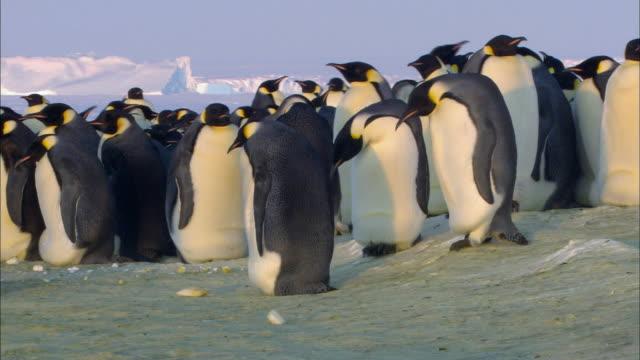Emperor penguin falling down
