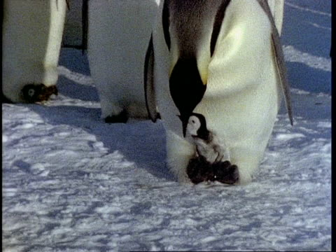 CU of Emperor penguin feeding chick, zoom in on chick
