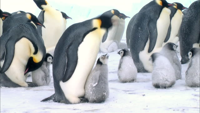 emperor penguin feeding its chick - 食べさせる点の映像素材/bロール