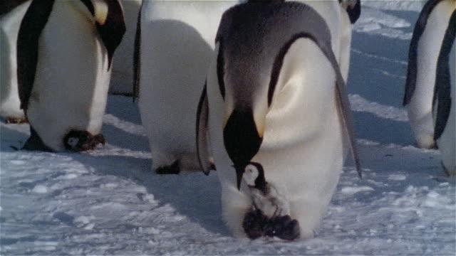zi, cu, emperor penguin feeding new born on snow, antarctica - young bird stock videos & royalty-free footage