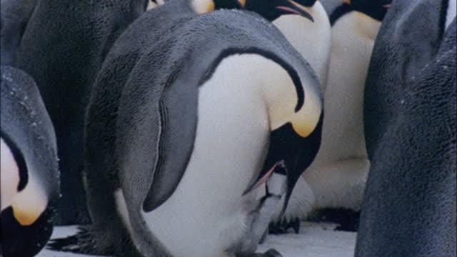 cu, td, tu, emperor penguin feeding young, antarctica - hungry stock videos & royalty-free footage