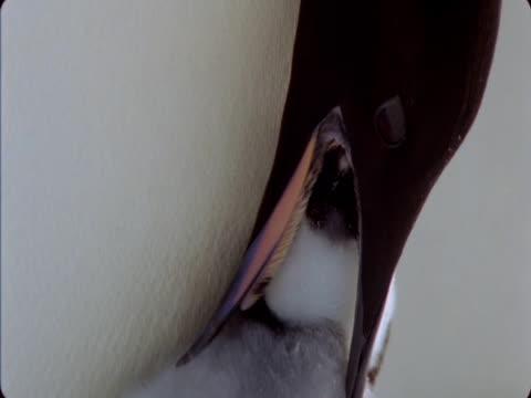 emperor penguin feeds its chick in antarctica. - maul stock-videos und b-roll-filmmaterial