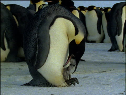 emperor penguin feeds tiny chick on feet, chick reaches inside parents beak for food, antarctica - emperor stock videos and b-roll footage