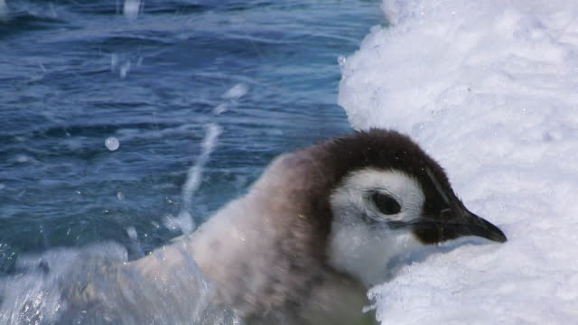 cu emperor penguin fledgling chick with mix of down and adult feathers struggles to get out of water and back onto ice comes towards camera and into ecu / dumont d'urville station, adelie land, antarctica - struggle stock videos & royalty-free footage