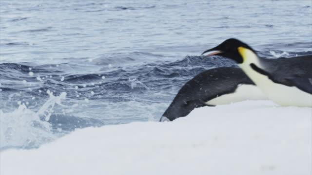 vídeos de stock e filmes b-roll de emperor penguin jumps into the antarctic ocean - clima polar