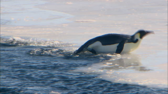 emperor penguin jumps out of the water but it slips and falls back in - misfortune stock videos & royalty-free footage