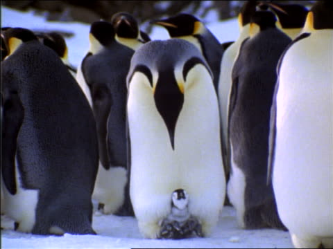 Emperor penguin looking down at her baby standing beneath her / surrounded by others